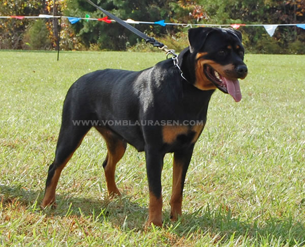 12 18 Month Male Rottweiler Dog For Adoption: ROTTWEILER FEMALES 12-18 MONTHS Pictures