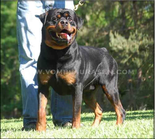 Kayara Flash vom Blaurasen, male rottweilers