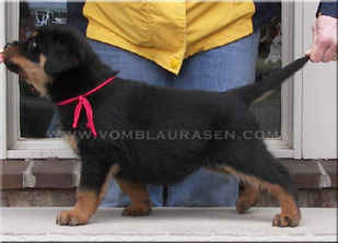 Ramzes Crni Lotos puppies
