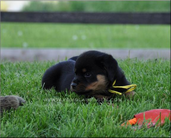 Rottweiler Puppies German Rottweiler Puppies