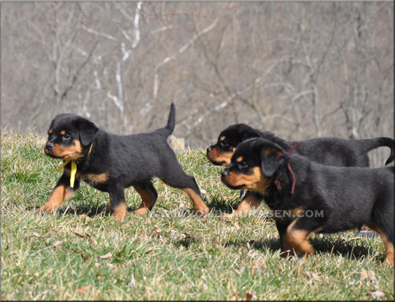 Vili Crni Lotos Puppies