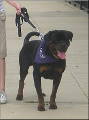 Rottweiler Puppies Jiny Von Hause Sommer X Kayara Flash