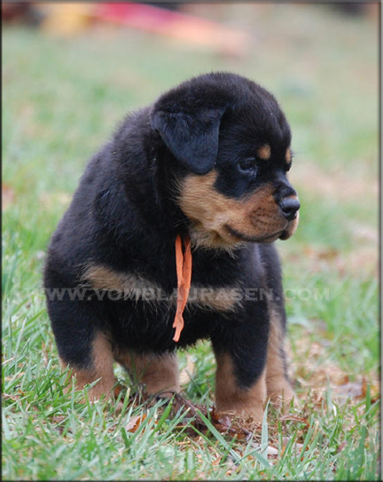 Rottweiler Puppies German Rottweiler Puppies