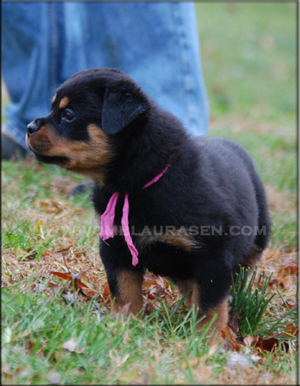 rottweiler puppy, rottweiler puppies, #rottweiler puppies